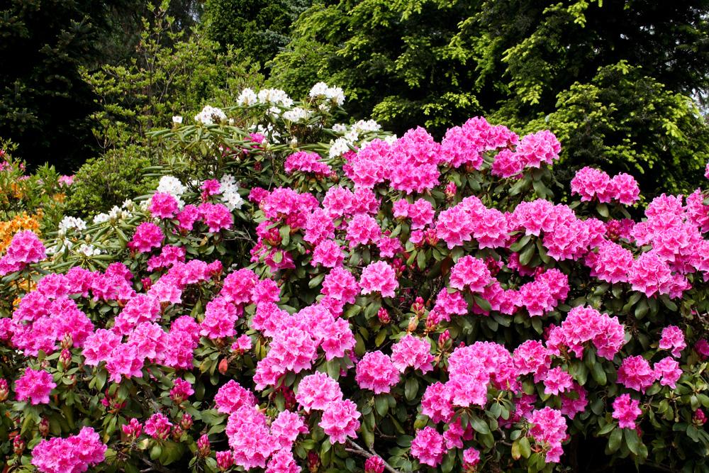 Święto kwitnących azalii.